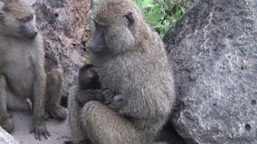 Wild Baboon Monkey with baby in African Botswana savannah