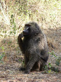 Wild baboon sitting in the bush of african savannah Royalty Free Stock Photography