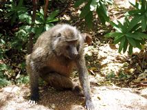A Wild Baboon sitting under a tree Stock Photography