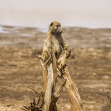Wild baboon on a trunk,  in Kruger Park, South Africa Royalty Free Stock Photo