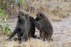 Wild baboons in Africa Uganda. With Fazinierender flora and fauna Stock Photography