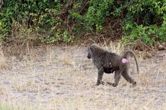 Wild baboons in Africa Uganda. With Fazinierender flora and fauna Royalty Free Stock Photography