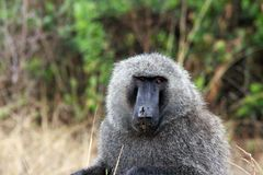 Wild baboons in Africa Uganda. With Fazinierender flora and fauna Stock Photo