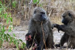 Wild baboons in Africa Uganda. With Fazinierender flora and fauna Royalty Free Stock Image