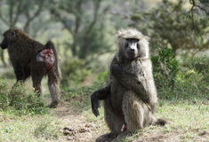 Wild Baboons Stock Photos
