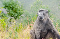 Wild baboons in South Africa Stock Images
