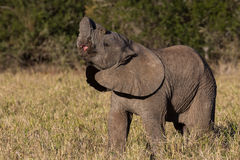 Wild baby African elephant Stock Images