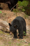 Wild baby bear. Wild baby black bear in the woods stock photography