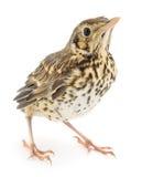 Wild baby bird. On a white background Royalty Free Stock Photo