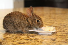 Wild baby bunny. Brown wild baby bunny eating bread off of a teabag plate Royalty Free Stock Images