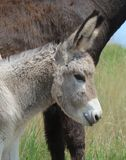 Wild baby burro Royalty Free Stock Photo