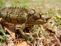 Wild baby chameleon walking on the grass Stock Photography