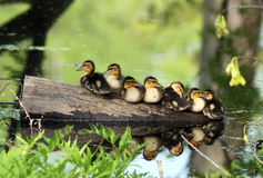 Wild baby ducks resting on a log. In a marsh stock photography