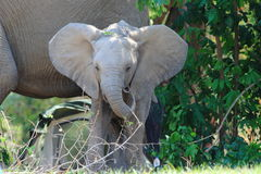 Wild baby elephant on camp site Royalty Free Stock Image