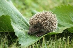 Baby Hedgehog. Wild baby hedgehog in green fresh grass royalty free stock images