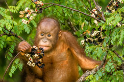 Wild Baby Orangutan Eating Red Berries in The Forest Of Borneo Malaysia Stock Photo