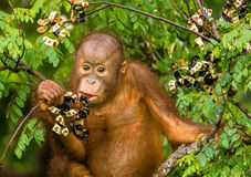 Wild Baby Orangutan Eating Red Berries in The Forest Of Borneo Malaysia Royalty Free Stock Photos