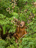 Wild Baby Orangutan Eating Red Berries in The Forest Of Borneo Malaysia. This wild young orangutan is climbing the rainforest trees to find red berries to eat Royalty Free Stock Image
