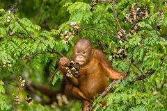 Wild Baby Orangutan Eating Red Berries in The Forest Of Borneo Malaysia. This wild young male orangutan is climbing the rainforest trees to find red berries to Stock Images