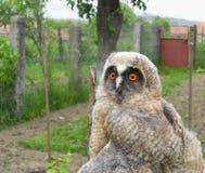 Wild baby owl Stock Image