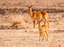 Wild baby puku antelope with its mother Stock Photography