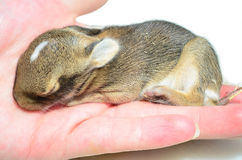 Wild Baby Rabbit Hand Stock Photo