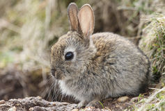 Wild baby Rabbit Orytolagus cuniculus. Royalty Free Stock Photo