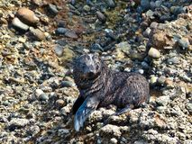 Wild Baby Seal looking for its sibblings at Wharariki Beach, New Zealand stock images