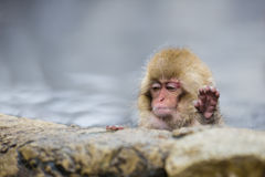 Wild Baby Snow Monkey Saying `Enough!`. A cute little fuzzy, wild, pink-faced baby snow monkey sitting in steamy water by some rocks looks like it`s had enough Royalty Free Stock Image