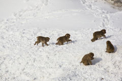 Wild Baby Snow Monkeys Playing Chase in Snow Royalty Free Stock Photography