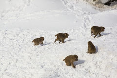 Wild Baby Snow Monkeys Playing Chase in Snow Royalty Free Stock Images