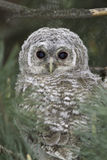 Wild baby Tawny owl sitting  / Strix aluco Stock Photography