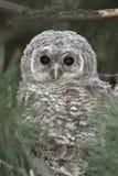 Wild baby Tawny owl sitting  / Strix aluco Stock Photography