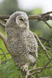 Wild baby Tawny owl sitting  / Strix aluco Stock Photos