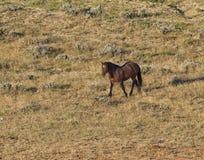Wild Bachelor Stallion Stock Photo