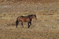 Wild Bachelor Stallion Stock Images