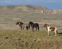 Wild Bachelor Stallions Stock Photos