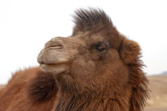 Wild bactrian camel Royalty Free Stock Photography