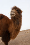 Wild bactrian camel. View of a young bactrian camel in Gobi desert Mongolia Royalty Free Stock Image