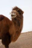 Wild bactrian camel Royalty Free Stock Image