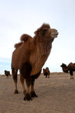 Wild bactrian camel Stock Image