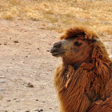 Wild bactrian camel Royalty Free Stock Image