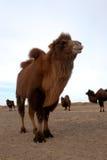 wild bactrian kamel Fotografering för Bildbyråer