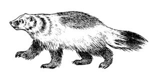 Wild Badger, forest animal. Symbol of the north. Vintage monochrome style. Mammal in Europe. Engraved hand drawn sketch royalty free illustration