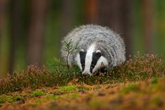 Wild Badger, Meles meles, animal in wood. European badger, autumn pine green forest. Mammal environment, rainy day. Badger in fore. St Stock Photos