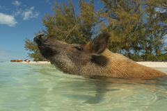 Wild Bahamian Pig. A wild bahamian pig of No Name Cay in the Abacos sniffs the air as it cools off in the ocean waters royalty free stock photography