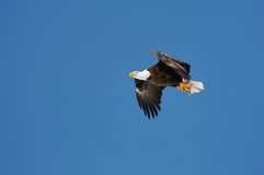 Wild bald eagle against blue sky Stock Images