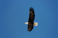 Wild bald eagle against blue sky Royalty Free Stock Photo