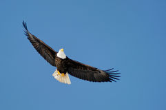 Wild bald eagle against blue sky royalty free stock images