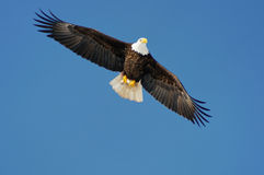 Wild bald eagle against blue sky Stock Photo